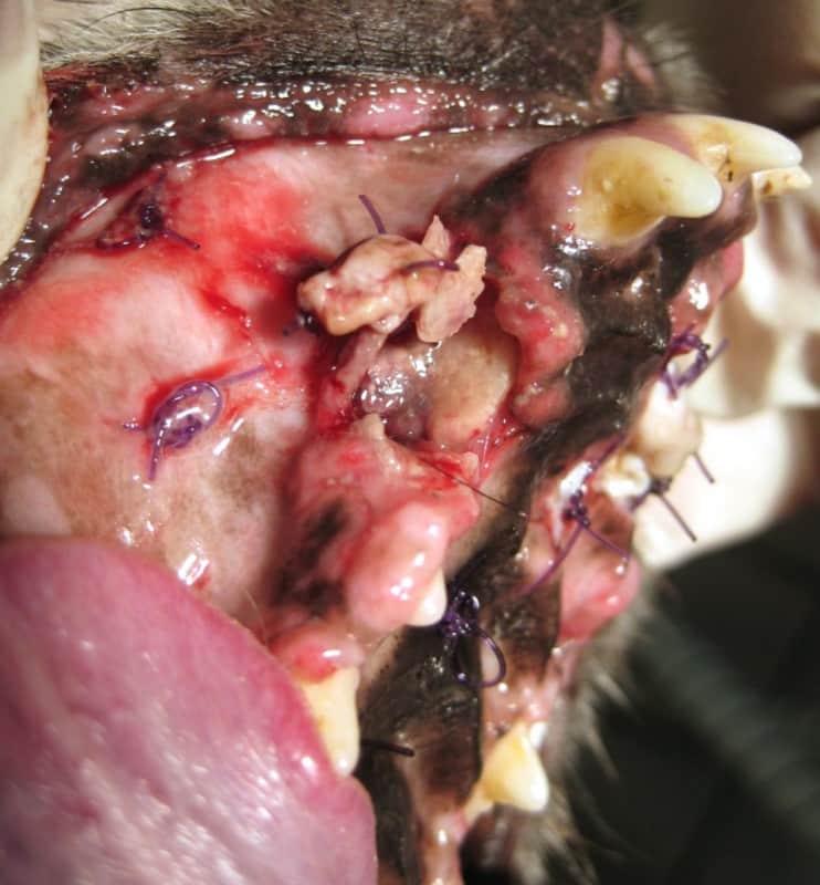 Abb.5 Knochennekrose im Bereich des rechten Caninus im Oberkiefer bei einem Foxterrier